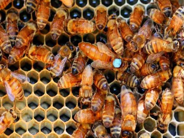 Вывод пчеломаток